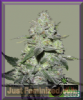 Bomb Gorilla Bomb Female 5 Marijuana Seeds